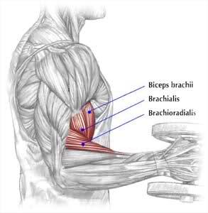 Брахиалис анатомия