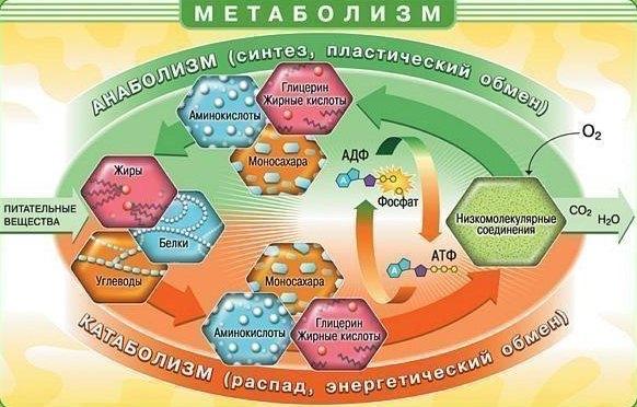 Обмен веществ (метаболизм)