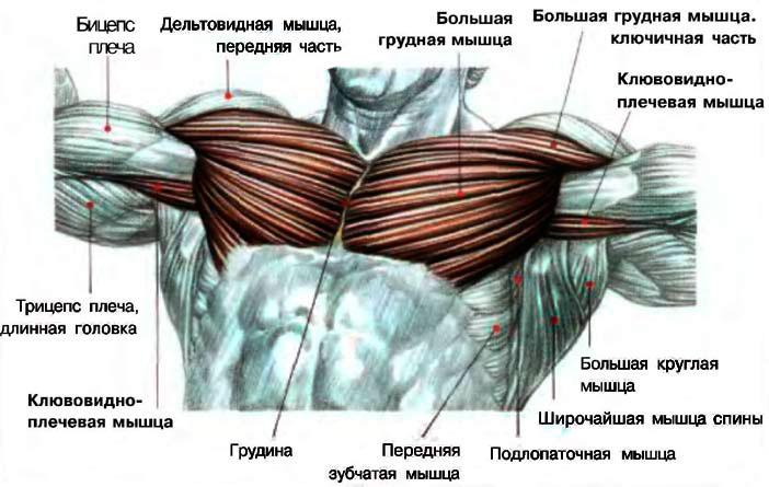 Схема на грудную мышцу