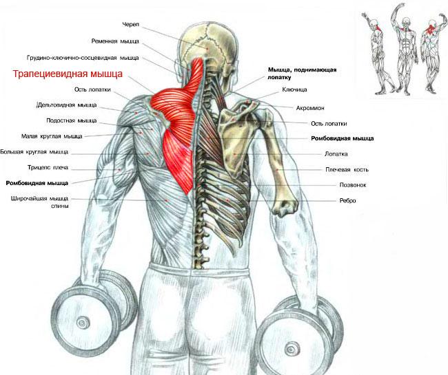 Упражнение шраги с гантелями