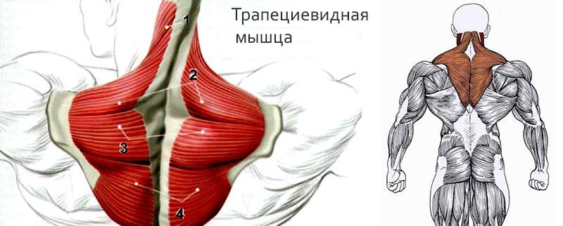 Строение мышцы трапеции
