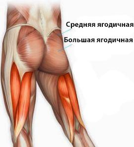 Ягодичные мышцы анатомия фото
