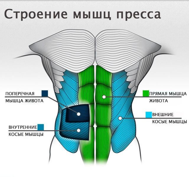 Строение мышц брюшного пресса