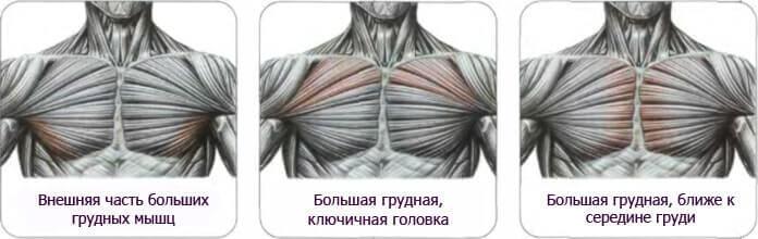 Условное разделение мышц груди