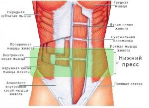 Анатомическое строение мышц пресса